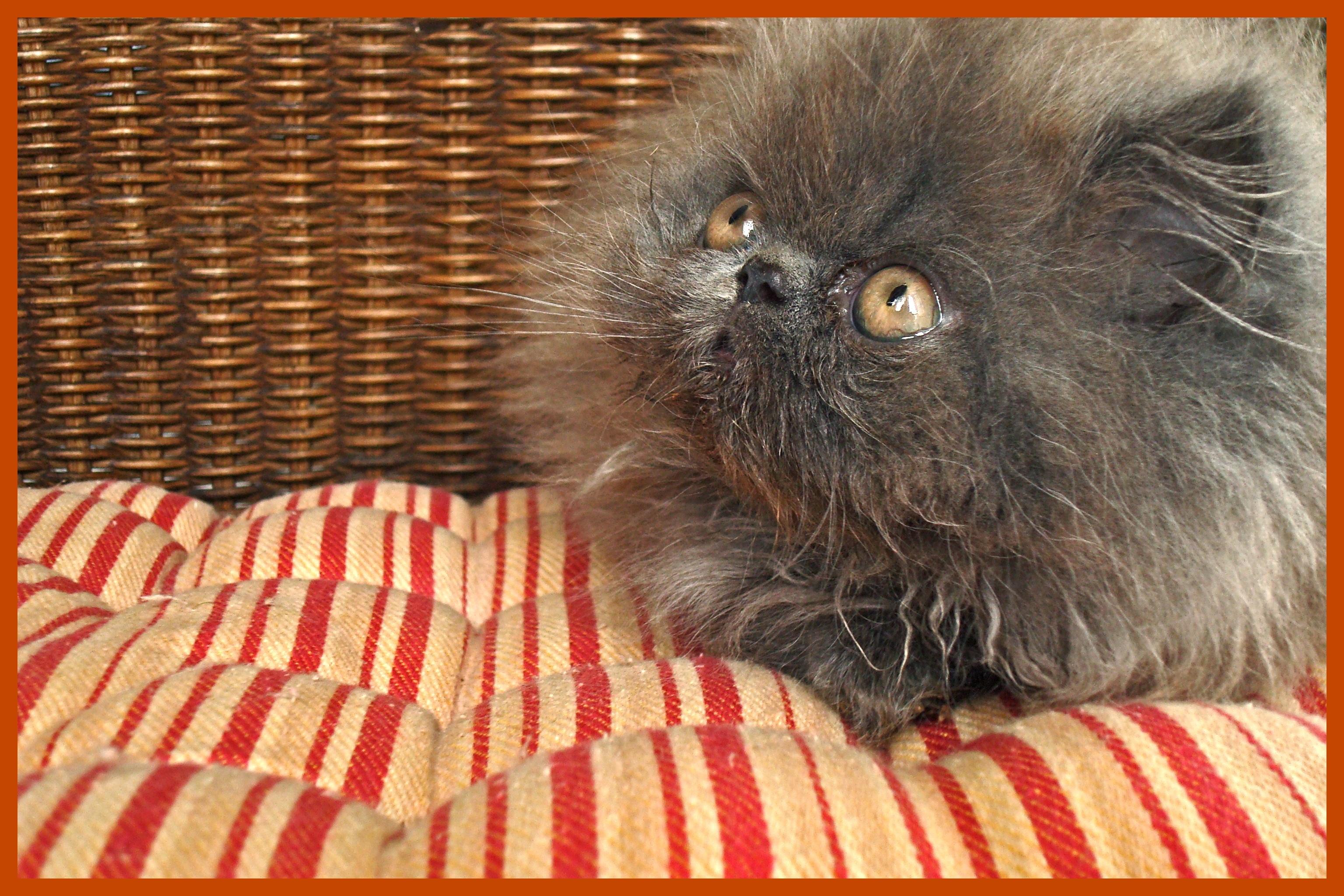 blue gray persian kitten