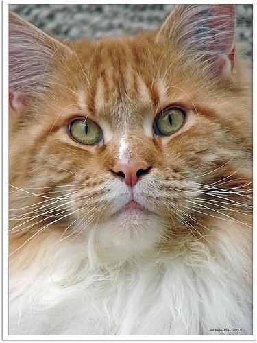 maine coon kittens photo